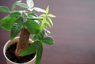 パキラの鉢植え